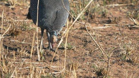 240p slow motion clip of a guinea fowl digging at serengeti national park in tanzania
