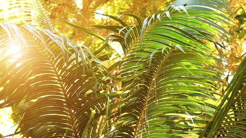 Cycas circinalis, also known as queen sago, is species of cycad known in wild only from southern India. Cycas circinalis is only gymnosperm species found among native Sri Lankan flora.