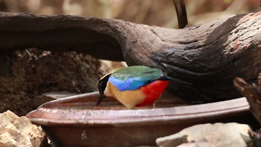 Blue-winged Pitta in nature, Thailand   Shutterstock HD Video #1028344619