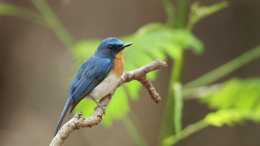 Tickell's Blue Flycatcher in nature   Shutterstock HD Video #1028344859