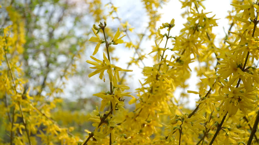 Forsythia Bushes Blossomed Yellow Flowers Stock Footage Video