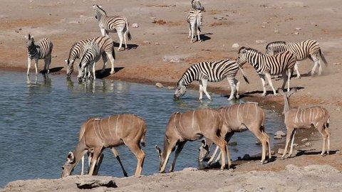 Kudu antelopes and plains zebras drinking at a waterhole, Etosha National Park, Namibia