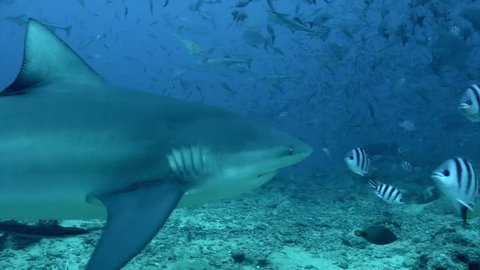 Gray bull shark eats from hands of man underwater Pacific Ocean Tonga. People feed sharks from their hands. Dangerous diving and exploring the marine life of wildlife animals.