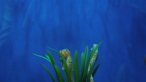 sea horse hiding in the weeds, sea animals in the aquarium