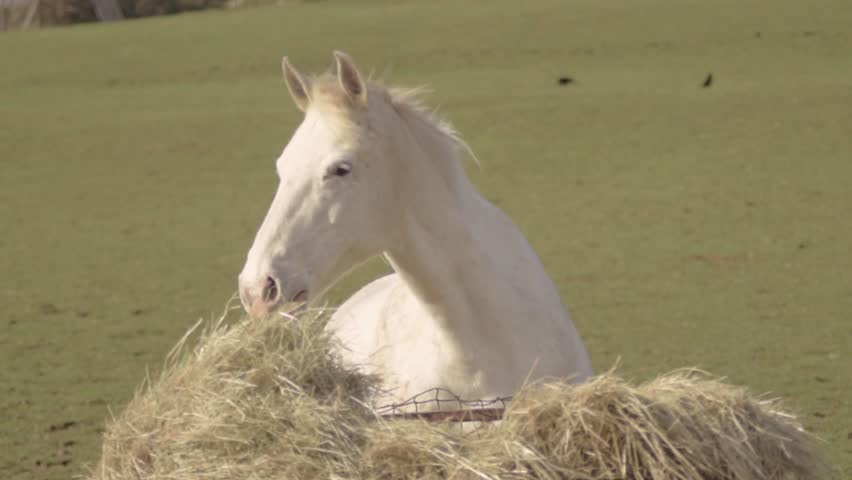 White horse grazing hay in a field #1028562509