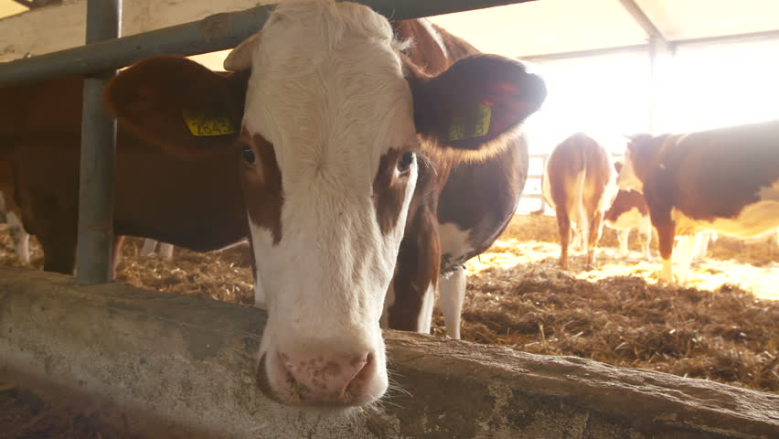 Cows In Cow House - Cattlles - Cowshed Animal Farming | Shutterstock HD Video #1028582999