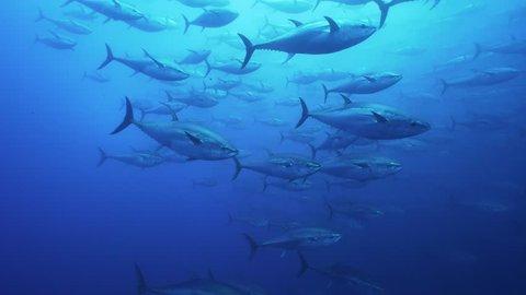 Schools of Big Tunas swimming in mediterranean sea