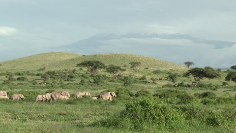 African Elephant (Loxodonta africana) family walking in grasslands, with Mount Kilimanjaro in background, Amboseli N.P. Kenya.