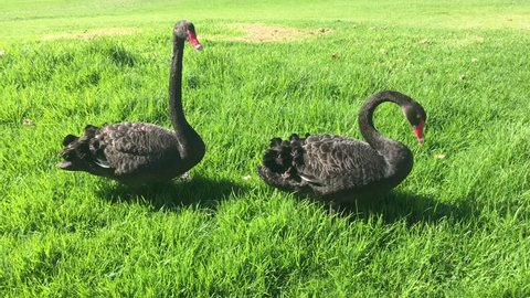 Two black swans in a the park walking and eating green grass.