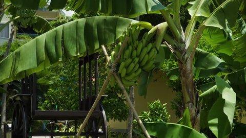 bananas grow on a tree