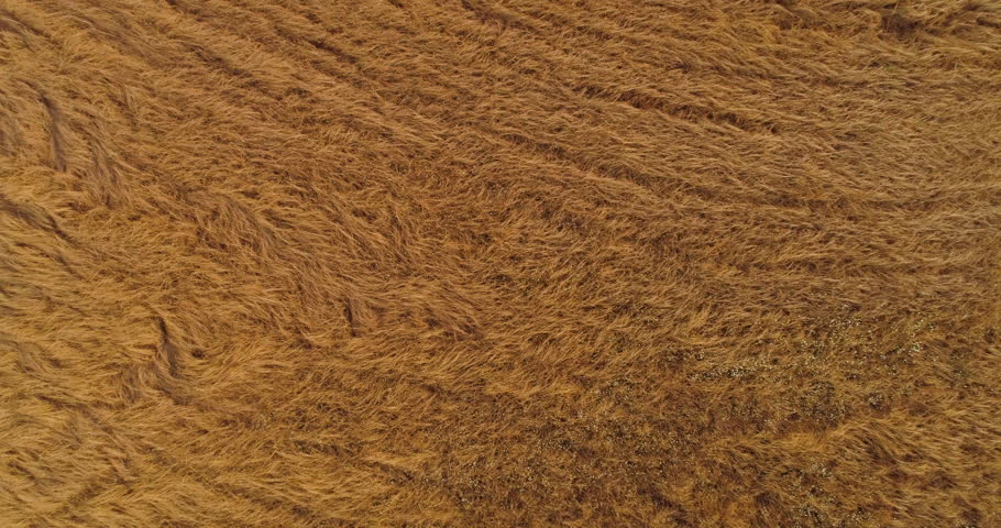Thresher farming in golden wheat field. Aerial view of threshing machine working in Italy. 34