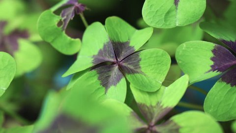 close-up of a group of four-leaf clovers with movement of the camera between them