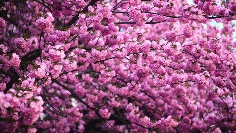 Sakura in Springtime. Beautiful Pink Flowers. Blooming sakura cherry blossom background in spring. Springtime with pink flowers tree. Cherry Blossom tree branch. Pink petal of cherry blossom