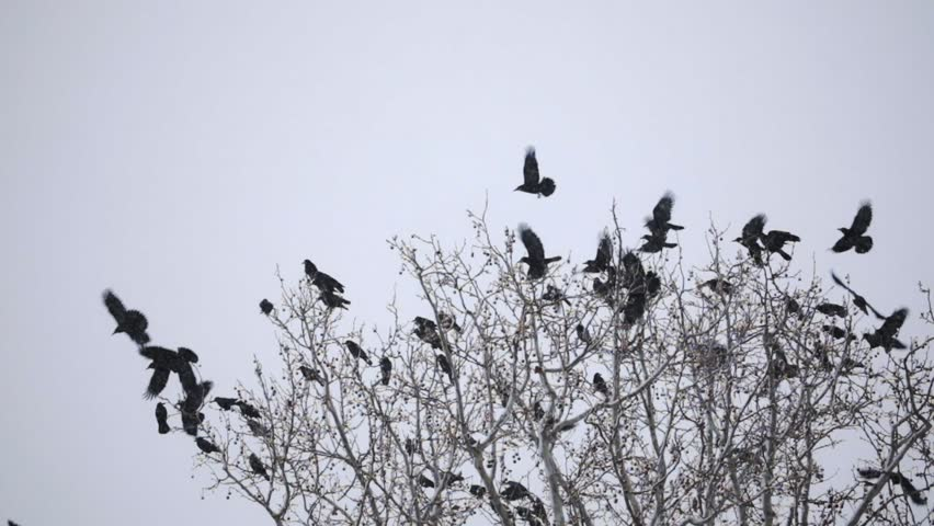 Group of crows on the tree at winter | Shutterstock HD Video #1028896649