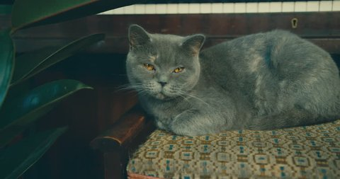 A cute British Shorthair cat is relaxing on a piano stool