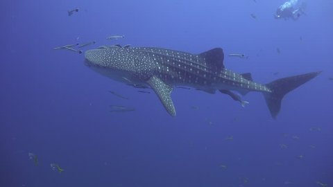 Whale shark slowly swims past the camera. In the background are photographers and bubbles.