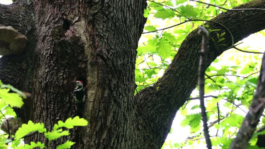 Woodpeckers brings food for the chicks to nest in tree | Shutterstock HD Video #1029356069