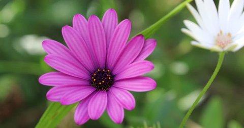 Beautiful Purple Cape Marguerite Flower, Van Staden's River Daisy Or Star Of The Veldt (Dimorphotheca Ecklonis, Osteospermum). Close Up View (Macro Shot) - DCi 4K Resolution