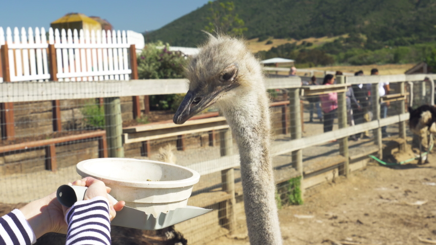 Ostriches.  People Feeding the Animals. Birds are Trained to Eat Out of a Bowl.  Funny Animals. Ostrich Farm