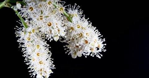White flowers of skimmia blooming and wilting in time lapse on a black background