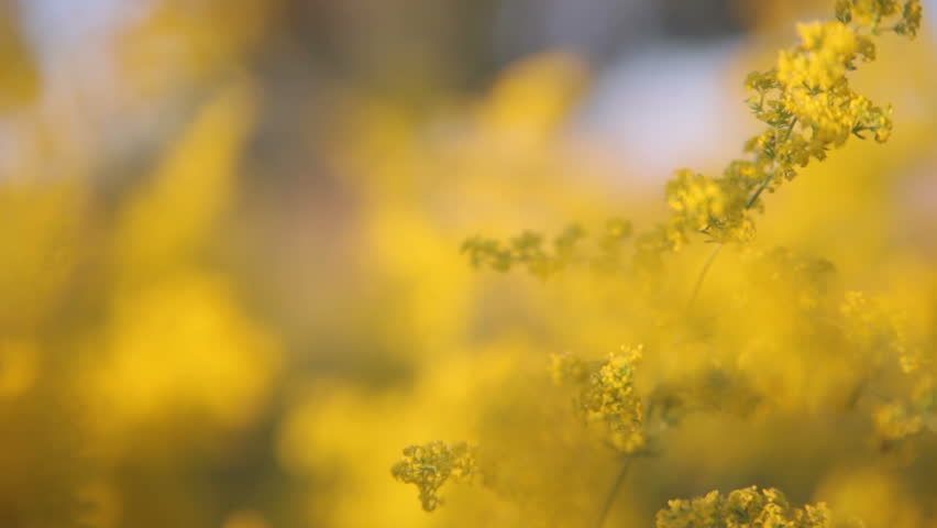 Yellow flowers in the meadow stock footage video 100 royalty free yellow flowers in the meadow stock footage video 100 royalty free 10297829 shutterstock mightylinksfo