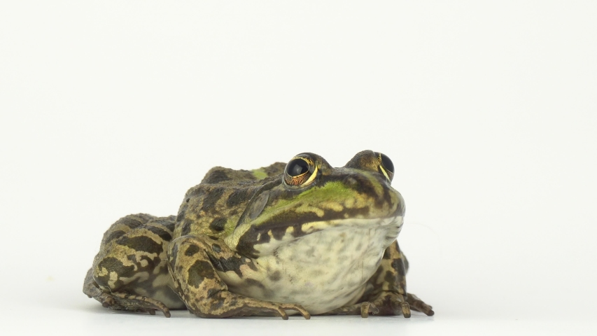 Frog toad green on white background | Shutterstock HD Video #1029788759