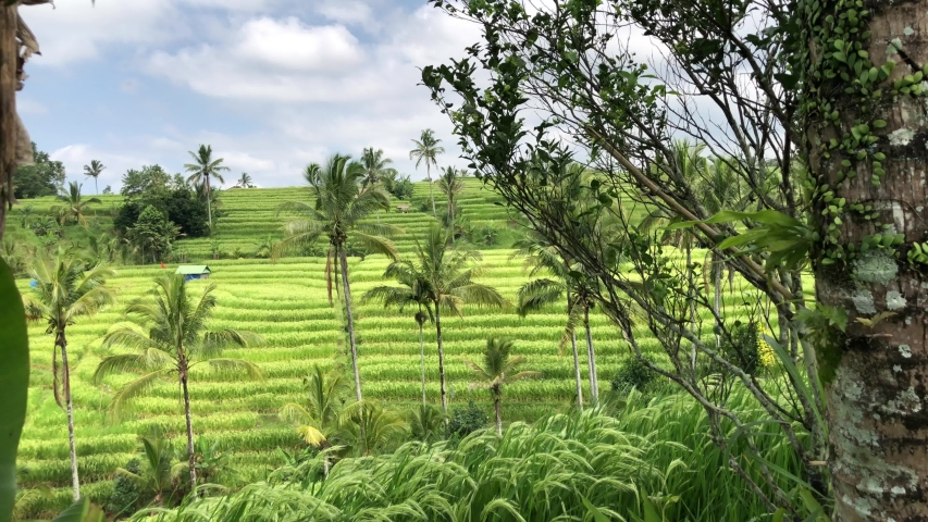 Jatiluwih Rice Terraces In Bali, rice paddies landscape with overcast sky, green fields on the background of mountains