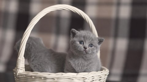 Cute adorable fluffy british shorthair kittens in a basket, close up shot