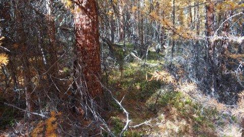Walk through a yellow larch taiga forest in autumn season on the mountain Altai Eshtykel plateau, Siberia, Russia