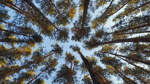 Walking through Siberian pine forest looking up to the tree crowns andblue sky