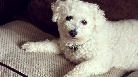 Bichon frise dog lying on a sofa she stares at the camera briefly before she lyes down tired from a big walk