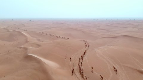 Aerial Drone Shot of a big Camel herd crossing the hot sandy Arabian desert accompanied by a herder
