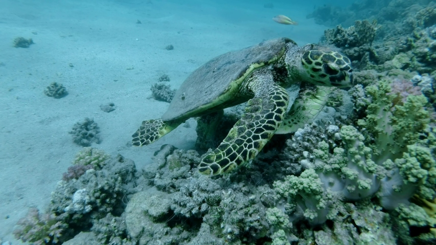 Slow motion, Sea Turtle sits on a coral reef and eats soft coral. Hawksbill Sea Turtle or Bissa (Eretmochelys imbricata) Underwater shot, Top view, Closeup. Red Sea Abu Dabab, Marsa Alam, Egypt