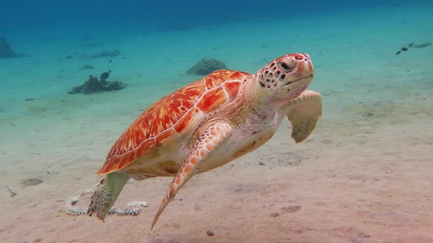 Swimming sea turtle and sandy seabed. Underwater video from scuba diving with the turtles. Wild sea animal in the tropical ocean. Marine life in the shallow water. #1030231589