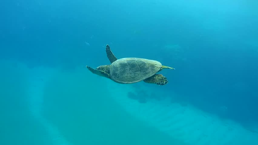 Hawksbill sea turtle (Eretmochelys imbricata) swimming in blue water, Red sea, Abu Dabab, Marsa Alam, Egypt   Shutterstock HD Video #10303193