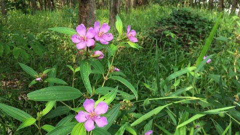 group of pink wild flowers, show receptacle in green forest