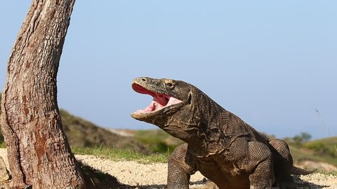 Komodo dragon is yawning. Huge mouth. Good angle. Komodo National Park. Indonesia. Close-up. Beautiful background.
