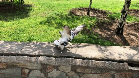 Birds in the city. Dove couple making love in the park on a sunny day. Romantic bird couple. Groom escape