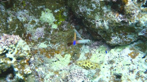 A pair of Nemateleotris magnifica, the fire goby, fire fish, fire dartfish, red fire goby or hatatate haze near Ishigaki island