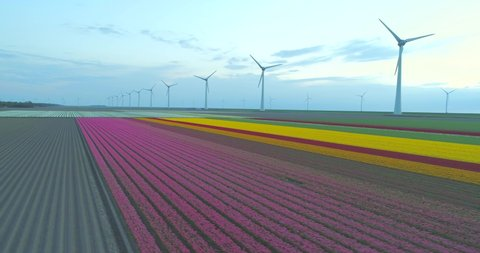Aerial tracking across pink, yellow and red tulips in neat rows of Dutch tulip field with a line of spinning wind turbines in the background