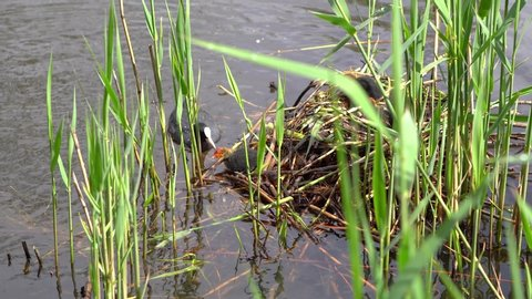 Mother duck feeding little ducklings in pond. Black ducks living in the wild near water
