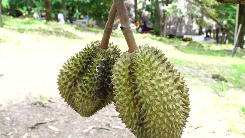 Organic Durian fruit fresh tree at harvest agricultural garden of Thailand. Durians is the king of fruits, Asian fruit of tropical.
