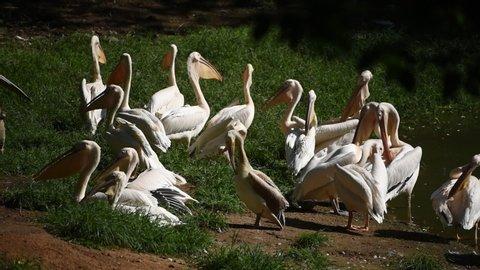 Guwahati, Assam, India. June 9, 2019. Pelican birds taking sunlight near a pond in Assam state zoo in Guwahati.