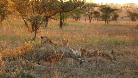 A Pride of Lionesses Relaxing Together in Serengeti National Park During Sunset