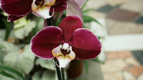 Beautiful Red Orchid Flower Blooming In A Botanical Garden In 4K
