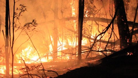 Gilmore New South Wales / Australia - January 20 2014: Australian Eucalyptus Forest Fire