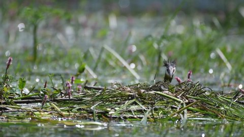 Great Crested Grebe, Podiceps cristatus, climbs on the nest, straightens eggs and sits on them