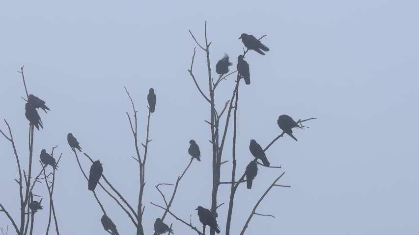 Rooks sit on the branches of an autumn bare tree against a cloudy sky. | Shutterstock HD Video #1031794349