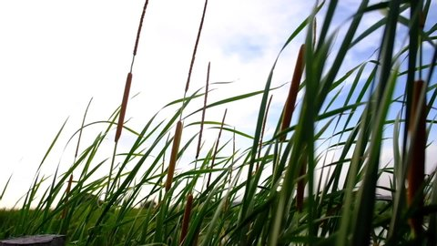 Cattails plant swaying by the strong wind.Bulrushes or Cattail blowing on a windy day.Cattails grass high the nature landscape outdoors.