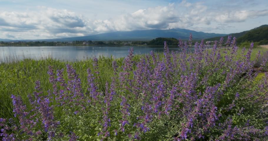 Fujisan and Lavender field in Kawaguchiko | Shutterstock HD Video #1032182759